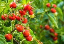 Pianta pomodori